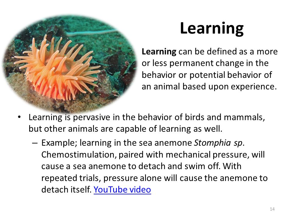 Learning Learning is pervasive in the behavior of birds and mammals, but other animals are capable of learning as well. – Example; learning in the sea