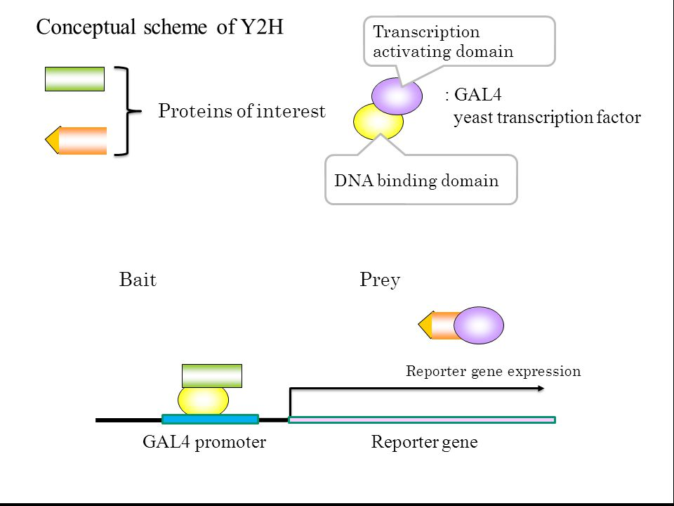 Reporter gene expression BaitPrey Proteins of interest : GAL4 yeast transcription factor Transcription activating domain DNA binding domain GAL4 promo