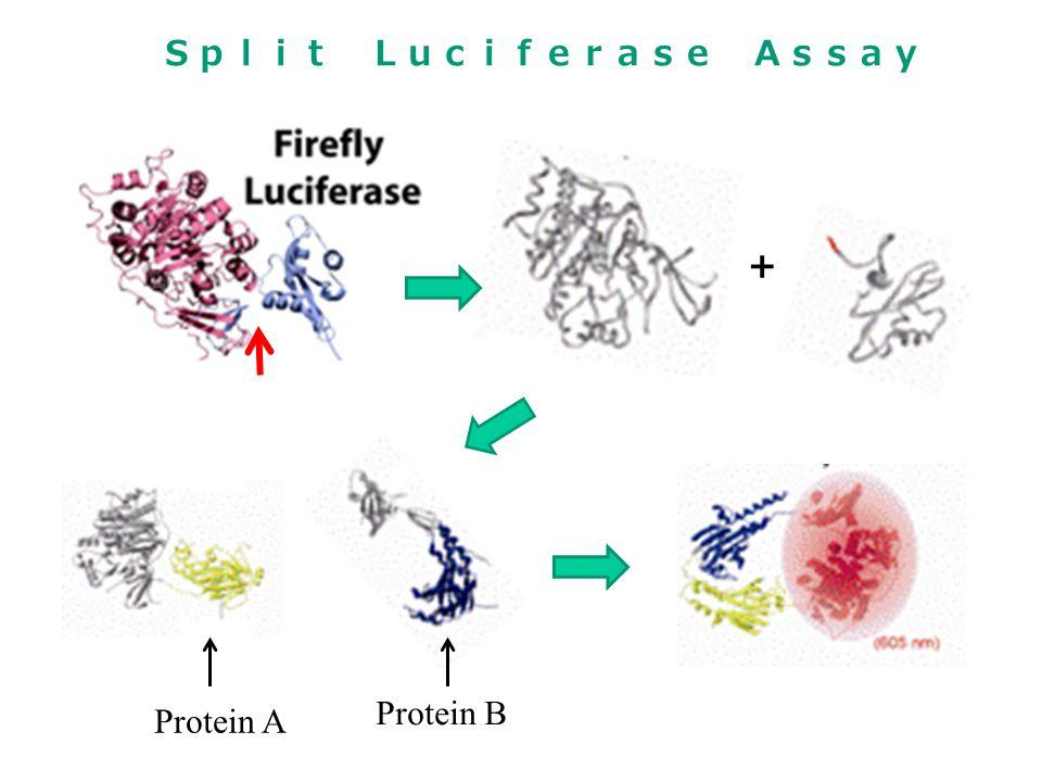 + Protein A Protein B Split Luciferase Assay