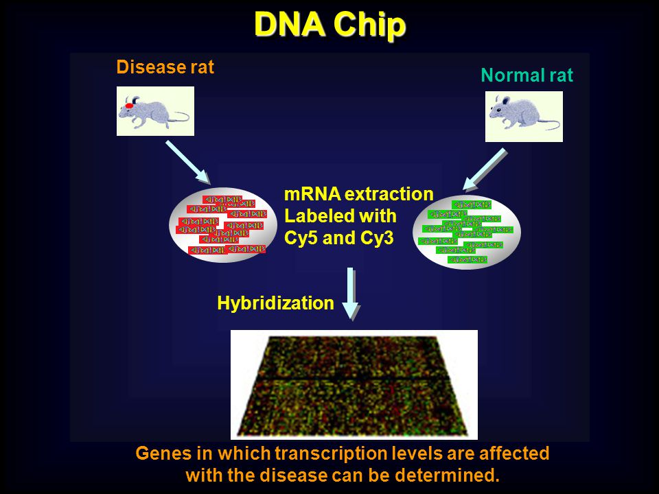 DNA Chip mRNA extraction Labeled with Cy5 and Cy3 Hybridization Genes in which transcription levels are affected with the disease can be determined.