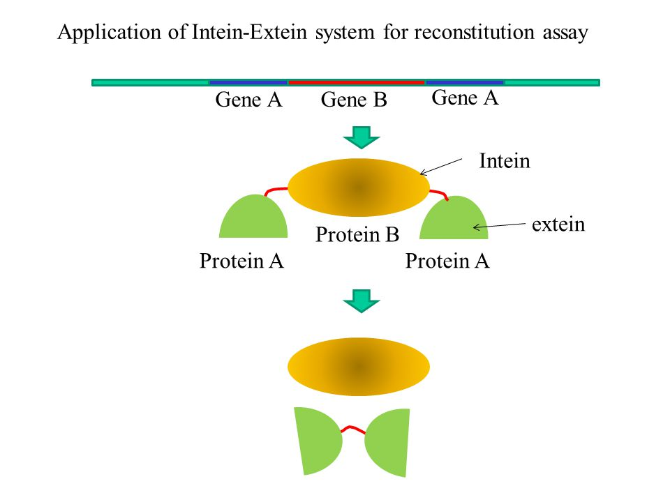 Gene A Gene B Application of Intein-Extein system for reconstitution assay Protein B Protein A Intein extein Protein A