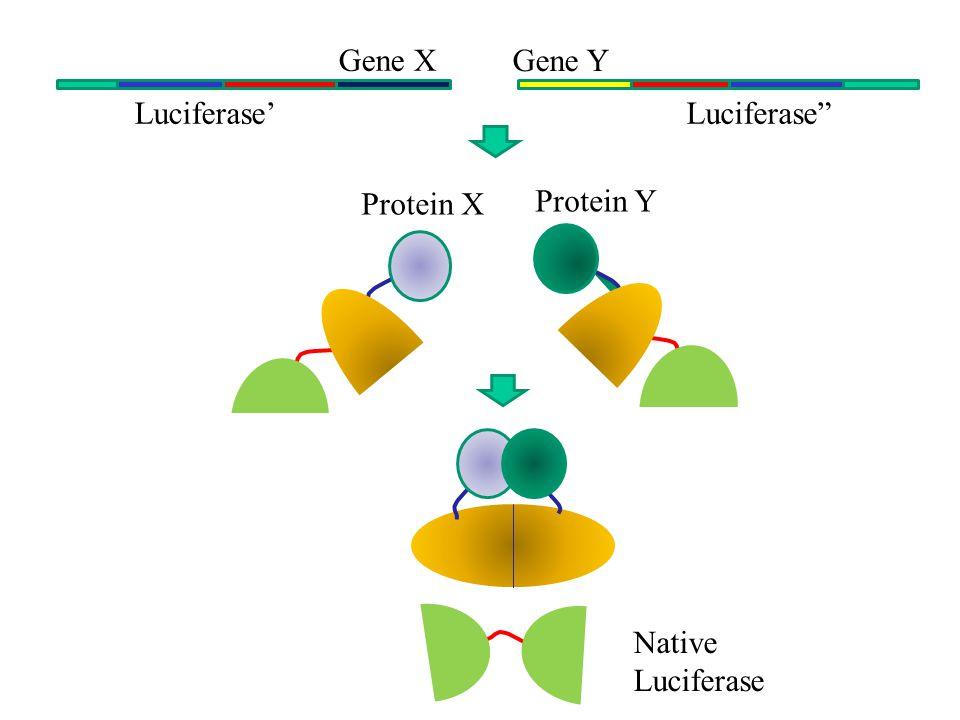Luciferase'Luciferase Gene X Gene Y Protein X Protein Y Native Luciferase