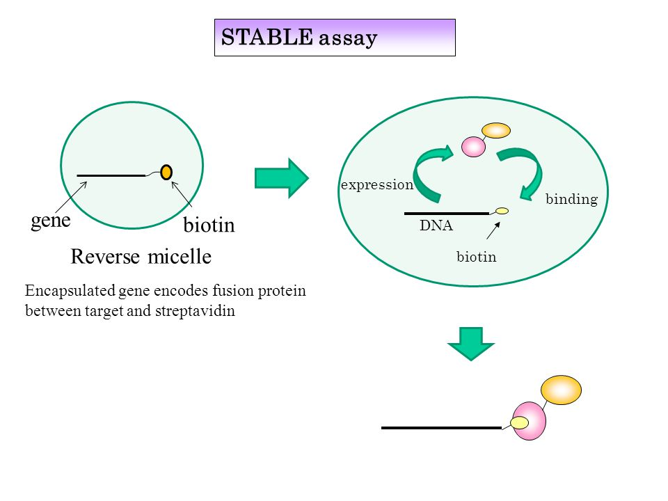 Reverse micelle gene biotin Encapsulated gene encodes fusion protein between target and streptavidin DNA biotin expression binding STABLE assay