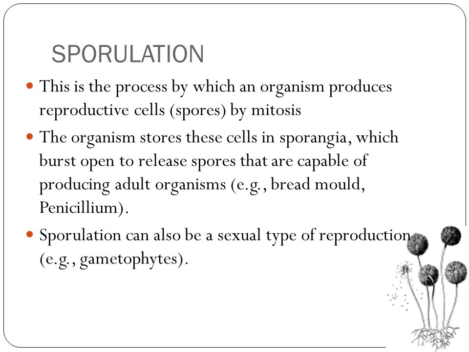 SPORULATION This is the process by which an organism produces reproductive cells (spores) by mitosis The organism stores these cells in sporangia, whi