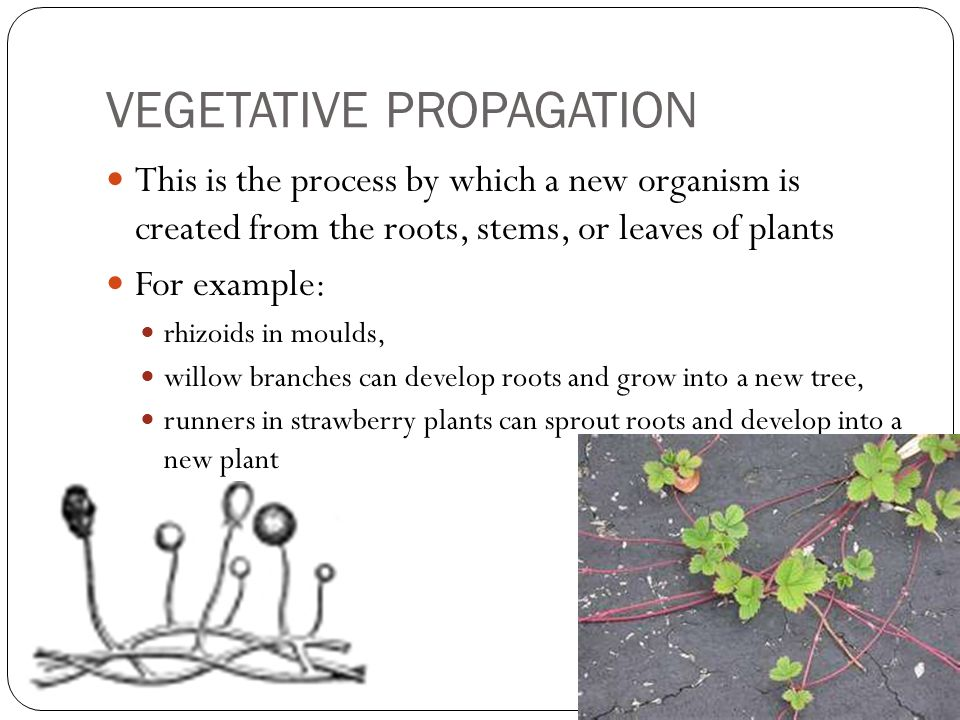 VEGETATIVE PROPAGATION This is the process by which a new organism is created from the roots, stems, or leaves of plants For example: rhizoids in moul