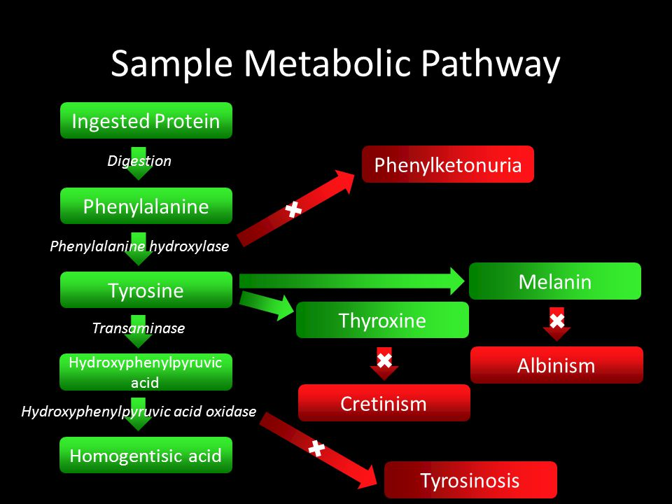 Sample Metabolic Pathway Ingested Protein Digestion Phenylalanine Phenylalanine hydroxylase Tyrosine Transaminase Hydroxyphenylpyruvic acid Hydroxyphenylpyruvic acid oxidase Homogentisic acid ✖ ✖ Phenylketonuria ✖ ✖ Tyrosinosis Melanin Thyroxine Cretinism ✖ ✖ Albinism ✖ ✖
