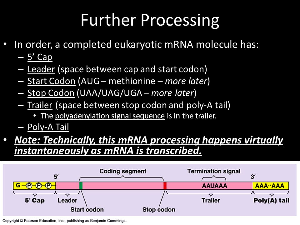 Further Processing In order, a completed eukaryotic mRNA molecule has: – 5' Cap – Leader (space between cap and start codon) – Start Codon (AUG – methionine – more later) – Stop Codon (UAA/UAG/UGA – more later) – Trailer (space between stop codon and poly-A tail) The polyadenylation signal sequence is in the trailer.