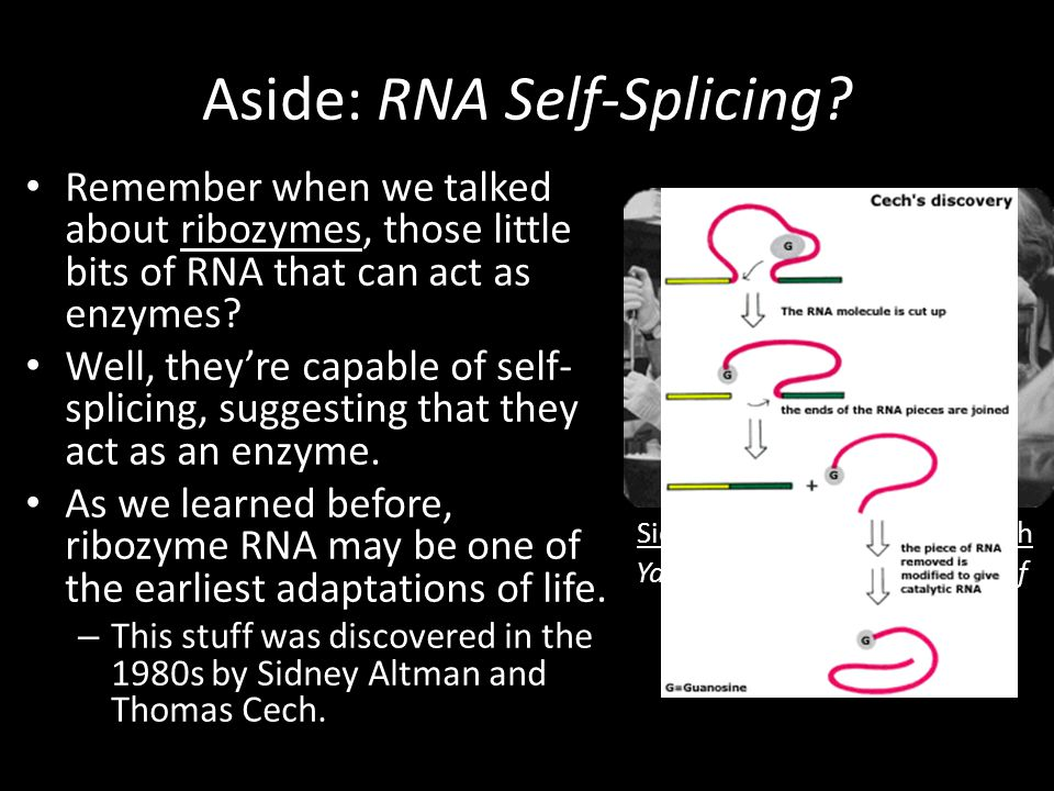 Sidney Altman Yale University Thomas Cech University of Colorado Aside: RNA Self-Splicing.