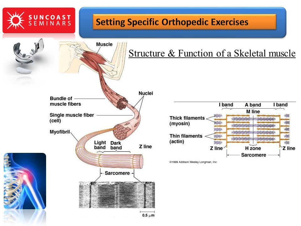 Structure & Function of a Skeletal muscle