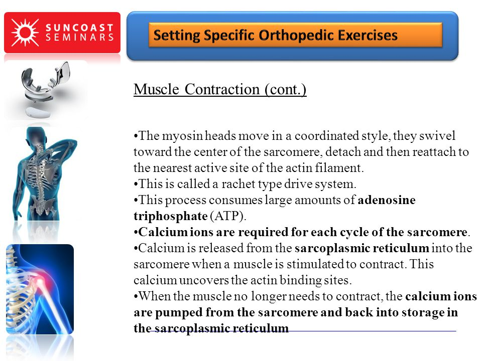 Muscle Contraction (cont.) The myosin heads move in a coordinated style, they swivel toward the center of the sarcomere, detach and then reattach to t