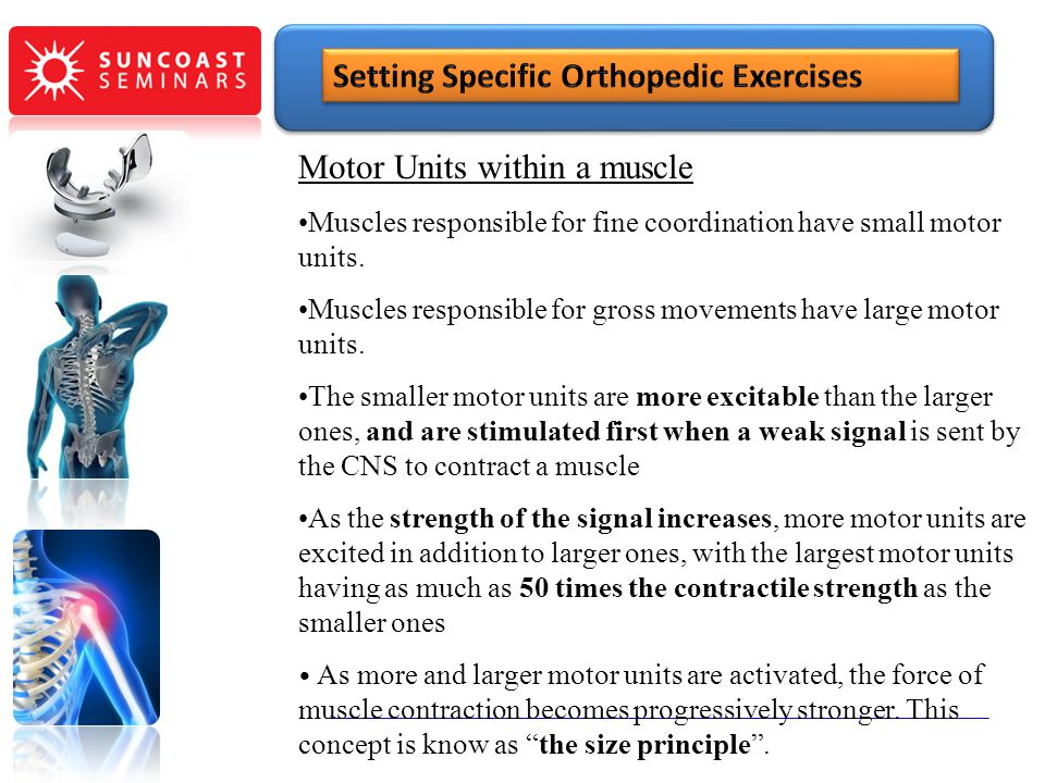 Motor Units within a muscle Muscles responsible for fine coordination have small motor units. Muscles responsible for gross movements have large motor