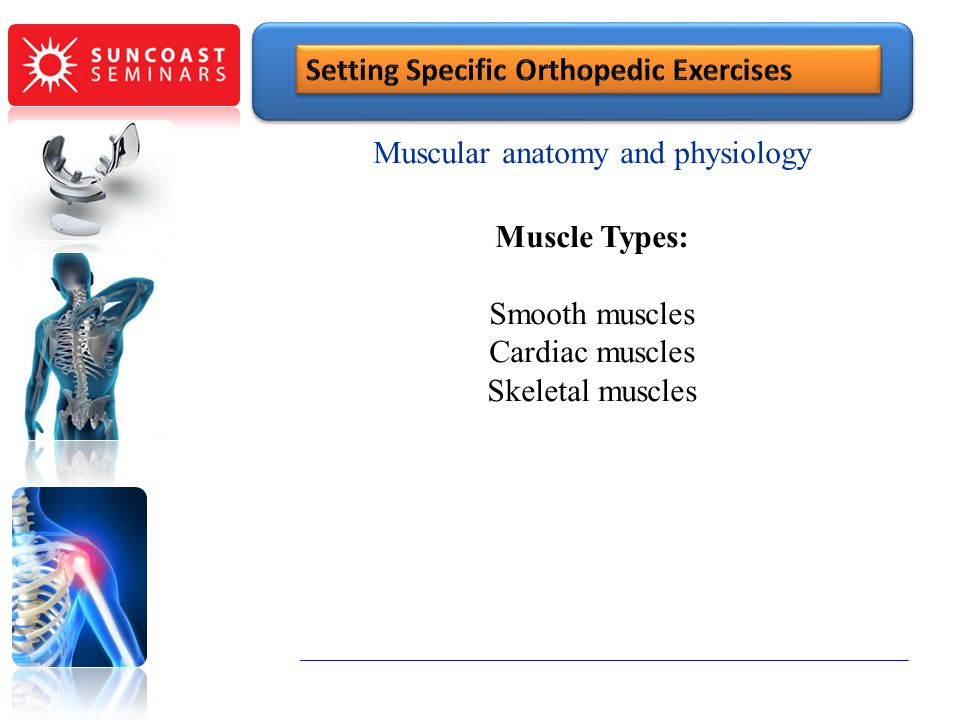 Muscular anatomy and physiology Muscle Types: Smooth muscles Cardiac muscles Skeletal muscles SunCoast Seminars