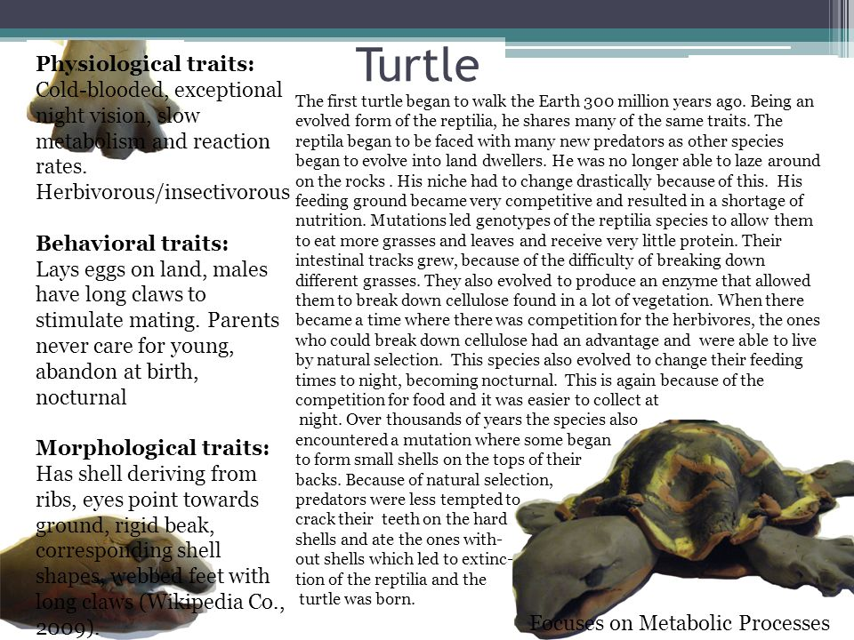 Turtle Physiological traits: Cold-blooded, exceptional night vision, slow metabolism and reaction rates.