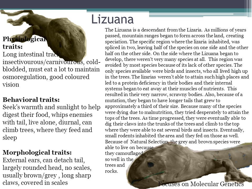 Lizuana Physiological traits: Long intestinal track, insectivourous/carnivourous, cold- blodded, must eat a lot to maintain osmoregulation, good coloured vision Behavioral traits: Seek's warmth and sunlight to help digest their food, whips enemies with tail, live alone, diurnal, can climb trees, where they feed and sleep Morphological traits: External ears, can detach tail, largely rounded head, no scales, usually brown/grey, long sharp claws, covered in scales The Lizuana is a descendant from the Lizaria.