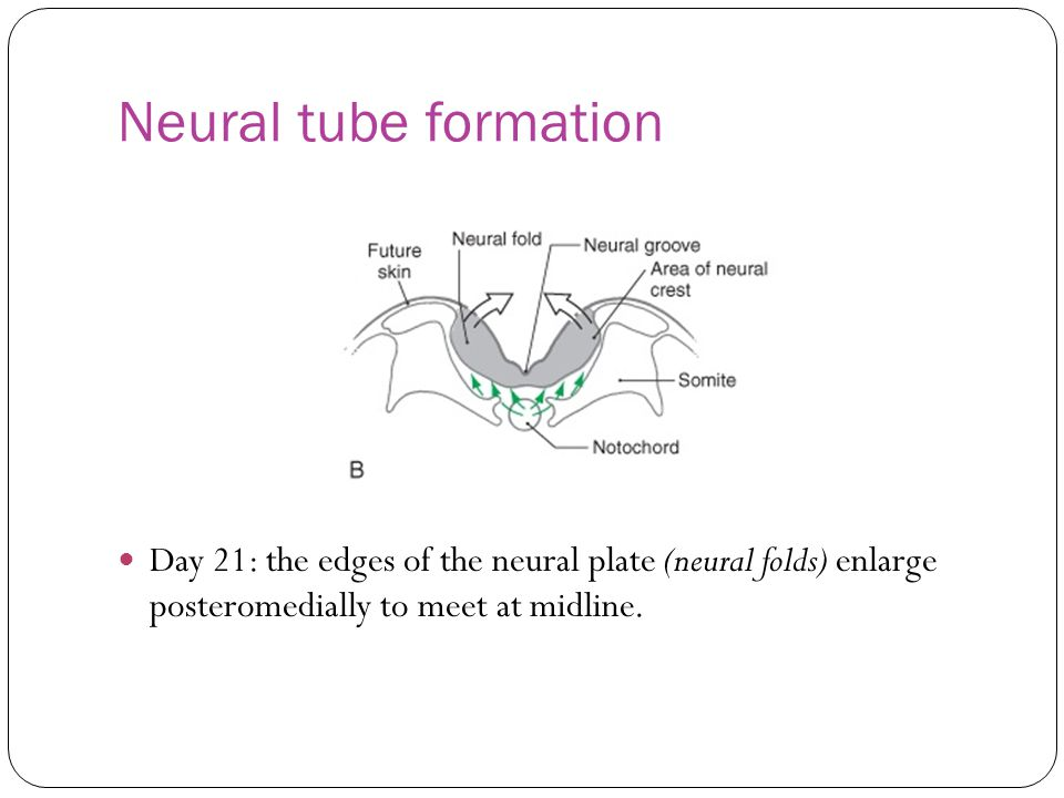 Neural tube formation Day 21: the edges of the neural plate (neural folds) enlarge posteromedially to meet at midline.