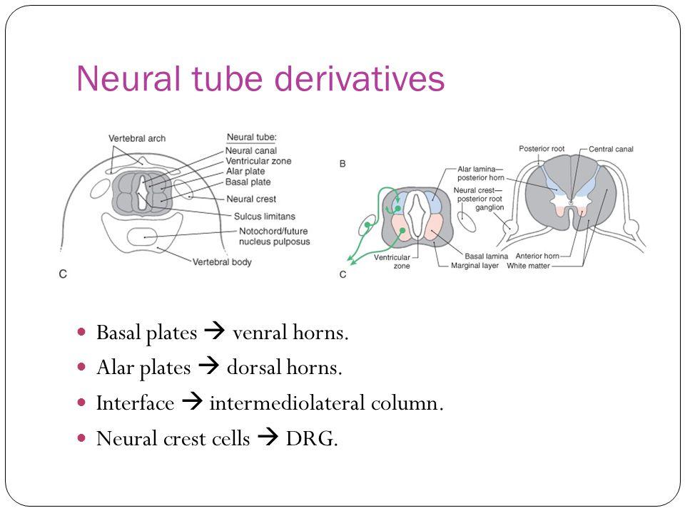 Neural tube derivatives Basal plates  venral horns. Alar plates  dorsal horns. Interface  intermediolateral column. Neural crest cells  DRG.