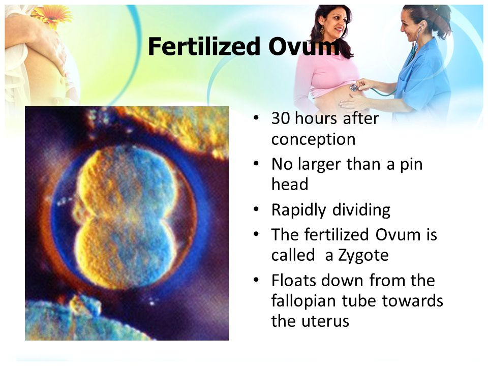 Fertilized Ovum 30 hours after conception No larger than a pin head Rapidly dividing The fertilized Ovum is called a Zygote Floats down from the fallo