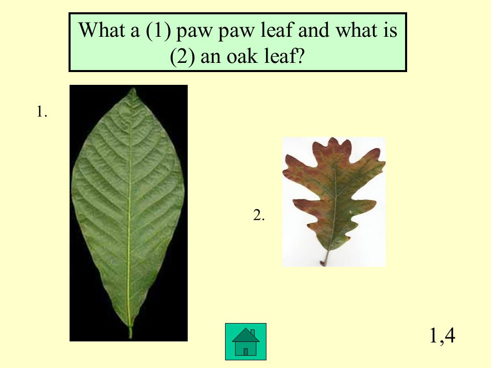 1,4 What a (1) paw paw leaf and what is (2) an oak leaf? 1. 2.