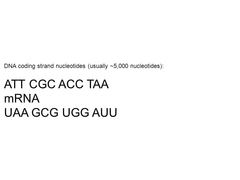 DNA coding strand nucleotides (usually ~5,000 nucleotides): ATT CGC ACC TAA mRNA UAA GCG UGG AUU