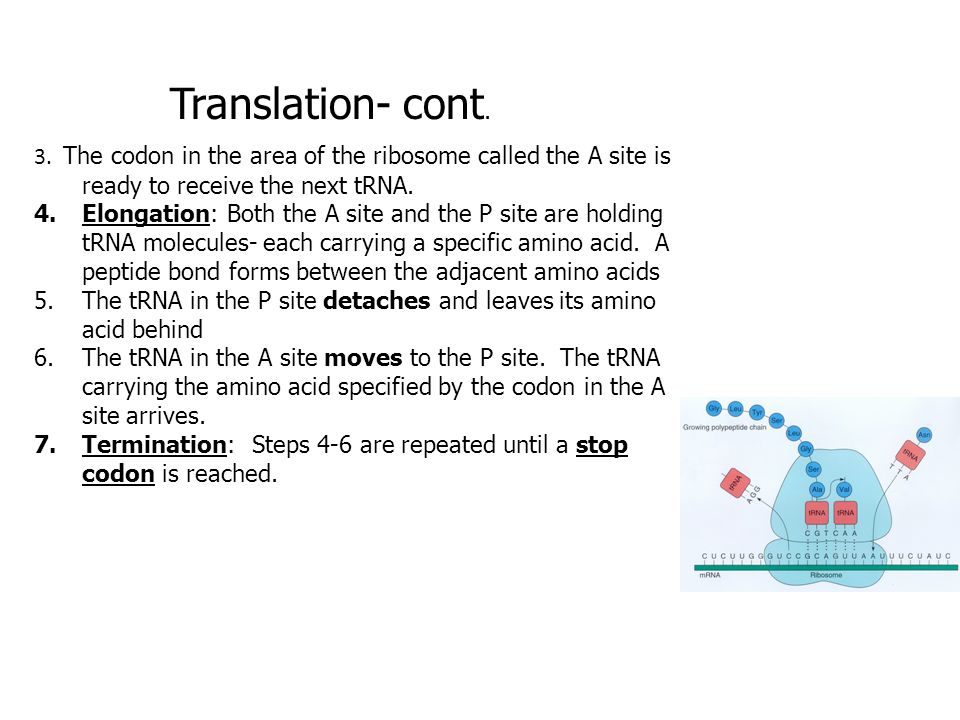 Translation- cont. 3. The codon in the area of the ribosome called the A site is ready to receive the next tRNA. 4.Elongation: Both the A site and the