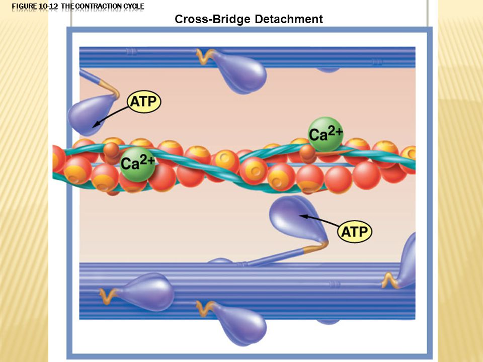 When another ATP binds to the myosin head, the link between the myosin head and the active site on the actin molecule is broken. The active site is no