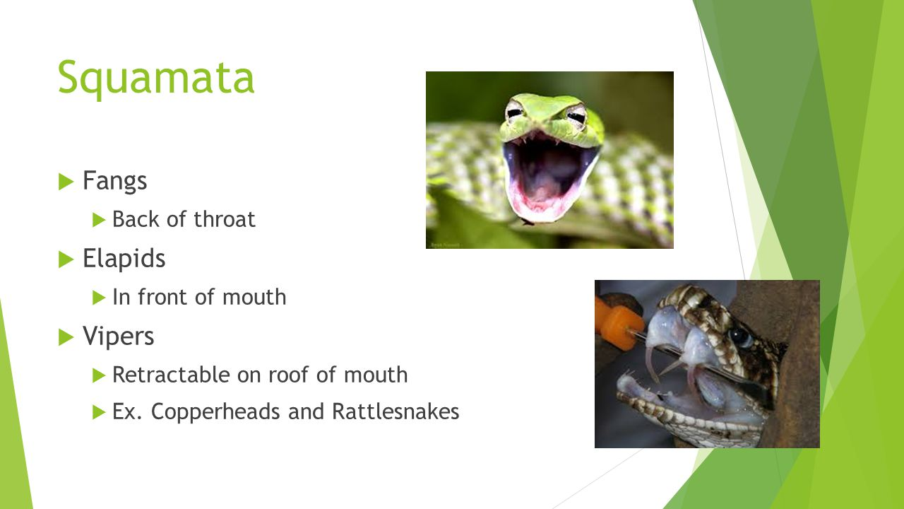 Squamata  Fangs  Back of throat  Elapids  In front of mouth  Vipers  Retractable on roof of mouth  Ex.