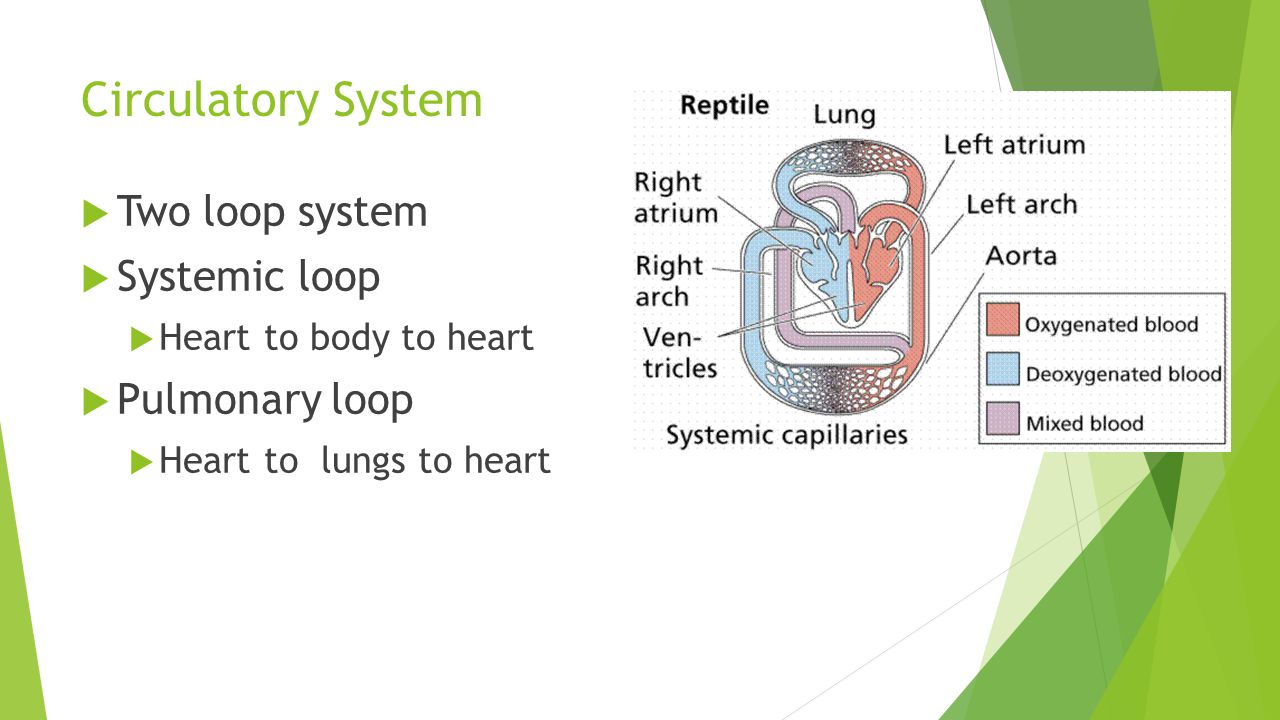 Circulatory System  Two loop system  Systemic loop  Heart to body to heart  Pulmonary loop  Heart to lungs to heart