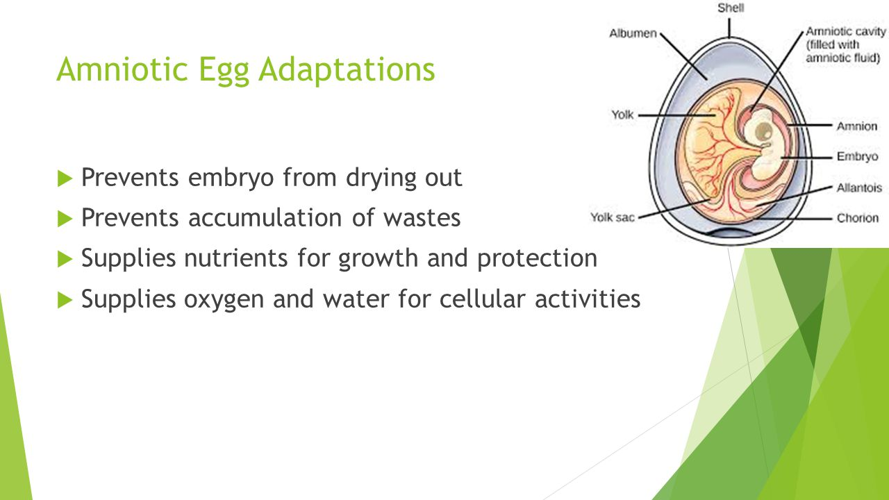Amniotic Egg Adaptations  Prevents embryo from drying out  Prevents accumulation of wastes  Supplies nutrients for growth and protection  Supplies oxygen and water for cellular activities