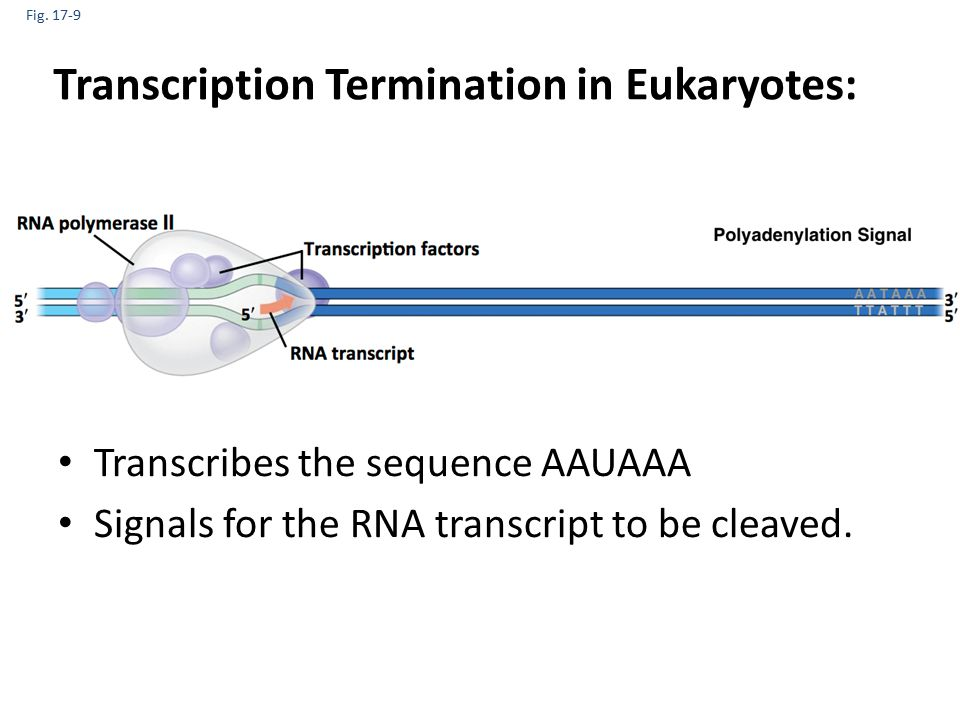 Fig. 17-9 Transcription Termination in Eukaryotes: Transcribes the sequence AAUAAA Signals for the RNA transcript to be cleaved.