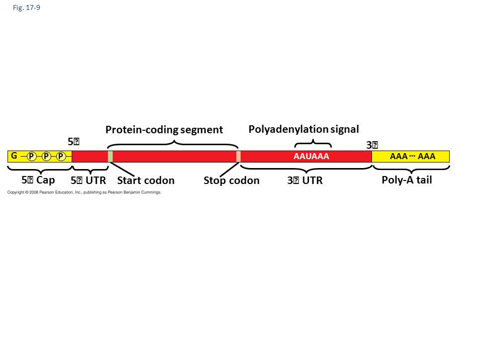 Fig. 17-9 Protein-coding segment Polyadenylation signal 3 3 UTR5 UTR 5 5 Cap Start codon Stop codon Poly-A tail G PPPAAUAAA AAA …