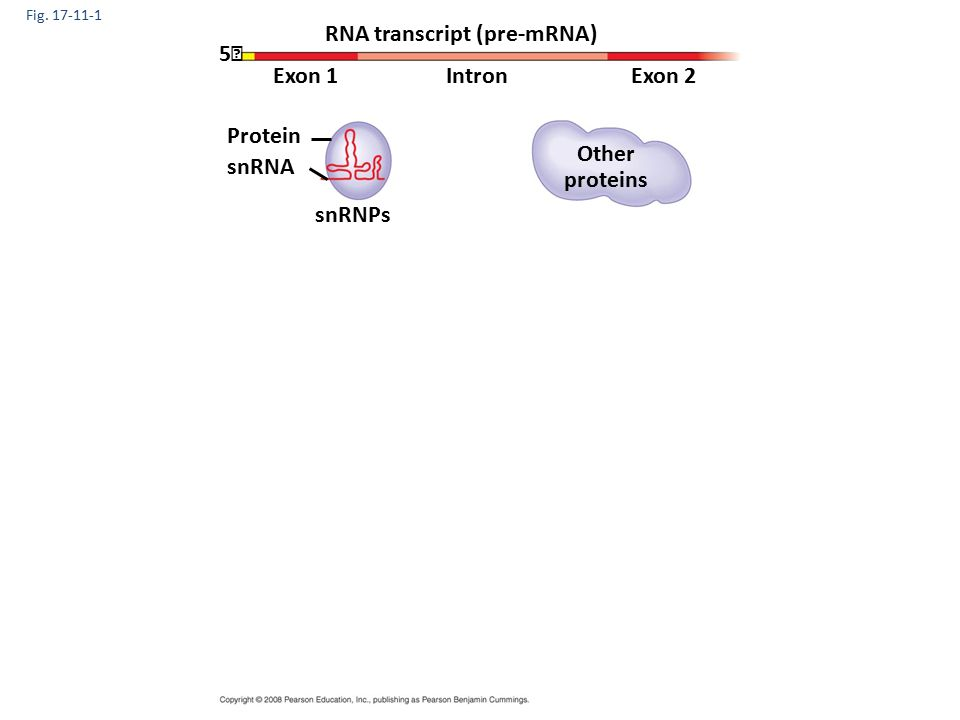 Fig. 17-11-1 RNA transcript (pre-mRNA) Exon 1Exon 2Intron Protein snRNA snRNPs Other proteins 5