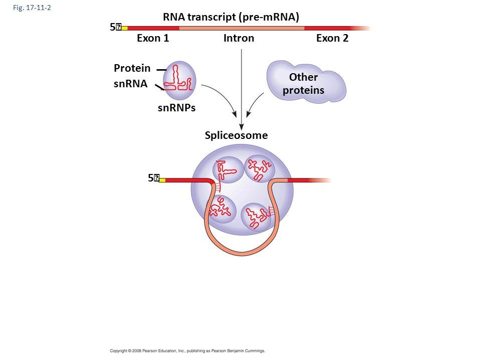 Fig. 17-11-2 RNA transcript (pre-mRNA) Exon 1Exon 2Intron Protein snRNA snRNPs Other proteins 5 5 Spliceosome