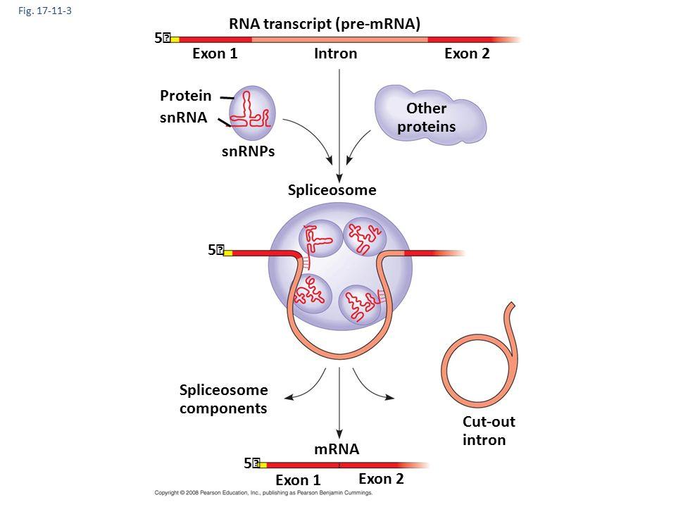 Fig. 17-11-3 RNA transcript (pre-mRNA) Exon 1Exon 2Intron Protein snRNA snRNPs Other proteins 5 5 Spliceosome components Cut-out intron mRNA Exon 1 Ex