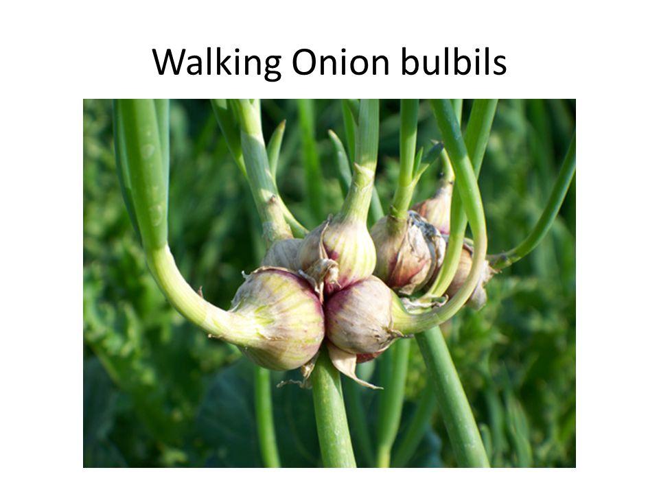 Walking Onion bulbils