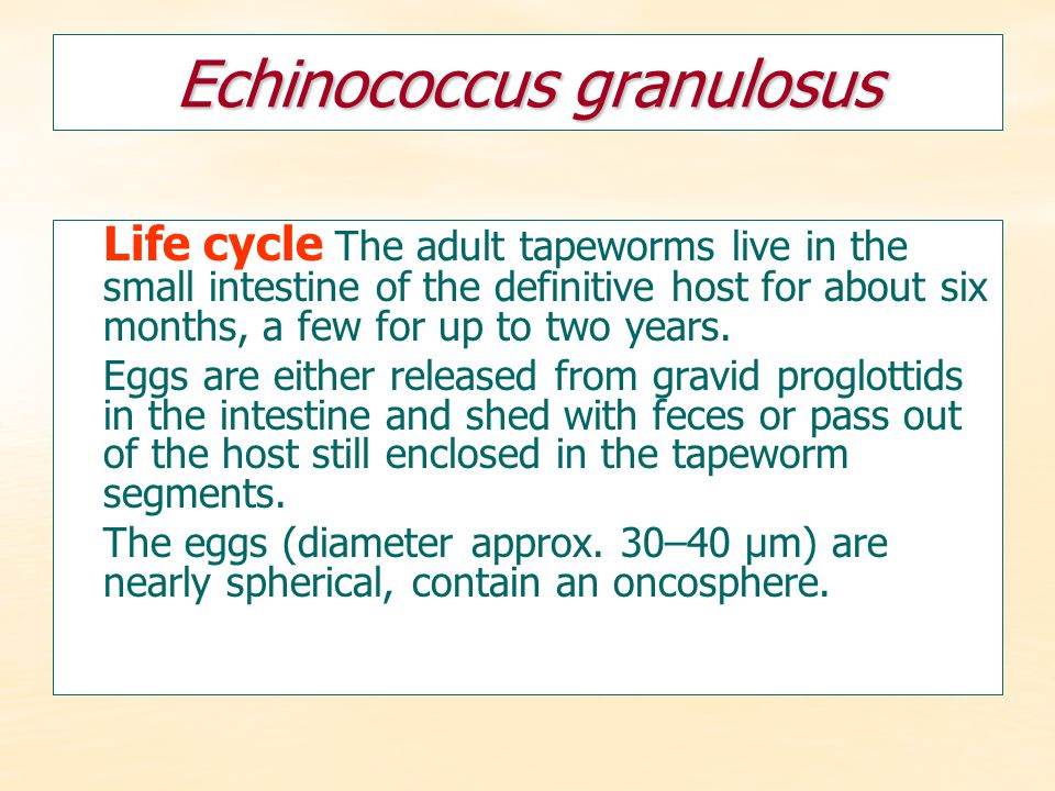 Echinococcus granulosus Life cycle The adult tapeworms live in the small intestine of the definitive host for about six months, a few for up to two ye