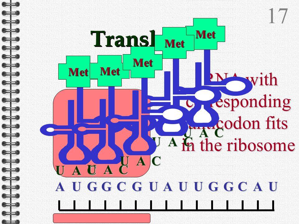 16 Translation AUGGCGUAUUGGCAUAUGGCGUAUUGGCAUAUGGCGUAUUGGCAUAUGGCGUAUUGGCAUA ribosome attaches to a length of mRNA