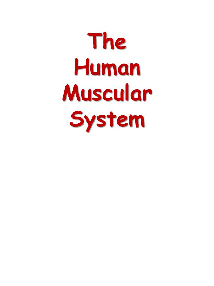 Types of Muscle Cardiac Muscle Cardiac Muscle – Striated muscle found only in the heart – Under involuntary control – Only rests between contractions Smooth Muscle Smooth Muscle – Lack striations – Usually under involuntary control – Contraction is slow and rhythmic – Muscles of internal organs Skeletal Muscle Skeletal Muscle – Striated muscle fibers with no clear separation between cells – Under voluntary control