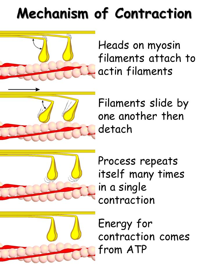 Mechanism of Contraction Energy for contraction comes from ATP Heads on myosin filaments attach to actin filaments Filaments slide by one another then detach Process repeats itself many times in a single contraction