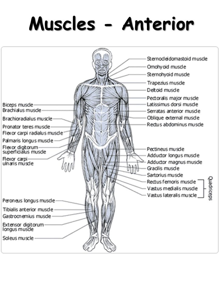 Muscles - Anterior