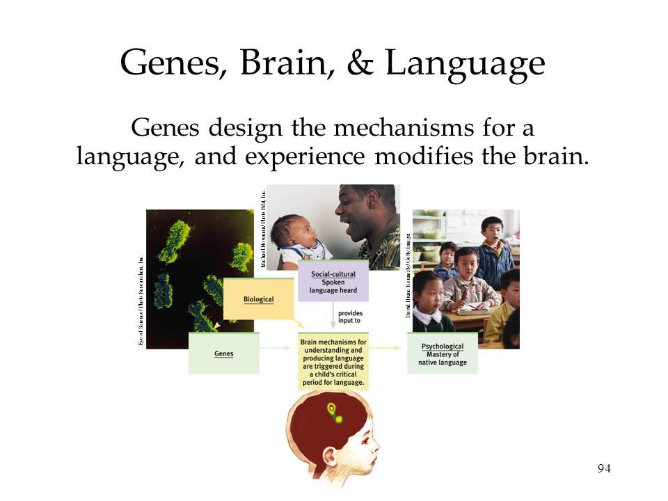 94 Genes, Brain, & Language Genes design the mechanisms for a language, and experience modifies the brain. Michael Newman/ Photo Edit, Inc. Eye of Sci