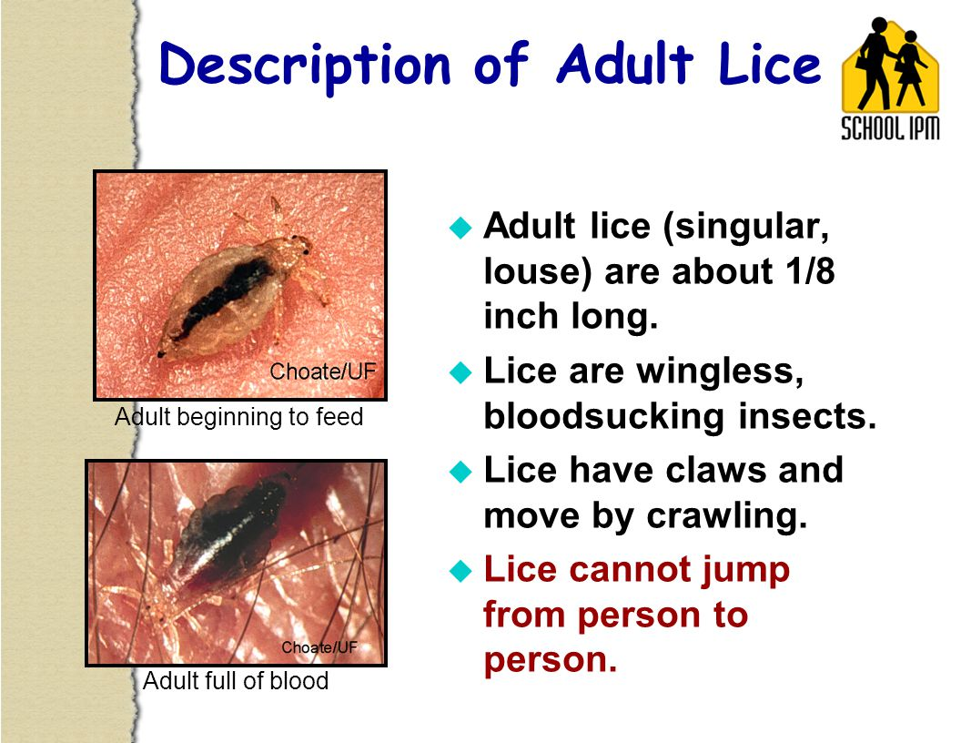 u Lice eggs are called nits.u Nits are glued to hairs very near the scalp.