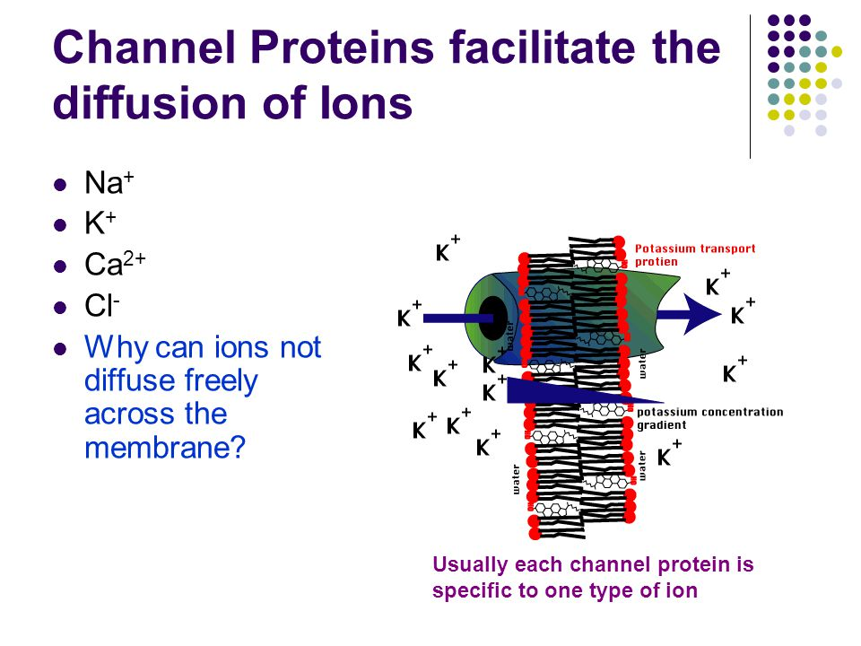 Channel Proteins facilitate the diffusion of Ions Na + K + Ca 2+ Cl - Why can ions not diffuse freely across the membrane.