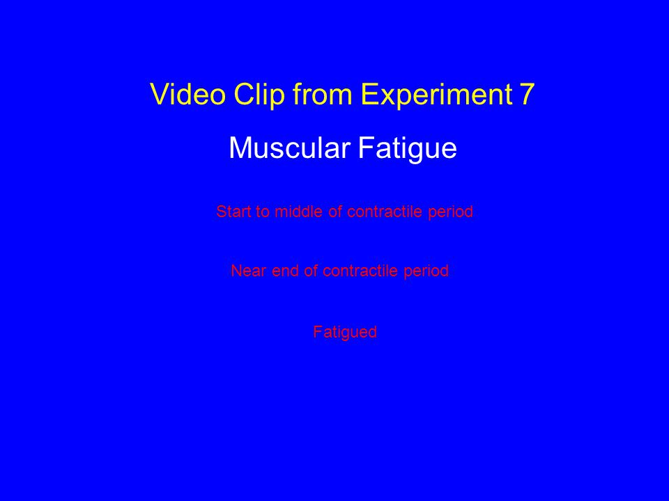 Video Clip from Experiment 7 Muscular Fatigue Start to middle of contractile period Near end of contractile period Fatigued