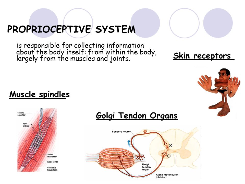 PROPRIOCEPTIVE SYSTEM is responsible for collecting information about the body itself: from within the body, largely from the muscles and joints.