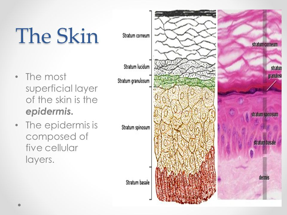 The Skin The most superficial layer of the skin is the epidermis.