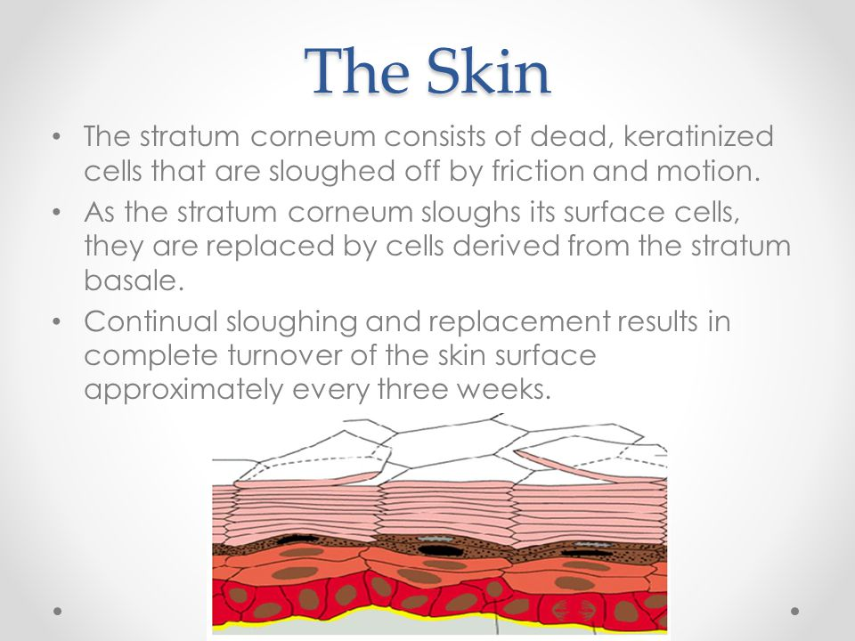 The Skin The stratum corneum consists of dead, keratinized cells that are sloughed off by friction and motion.