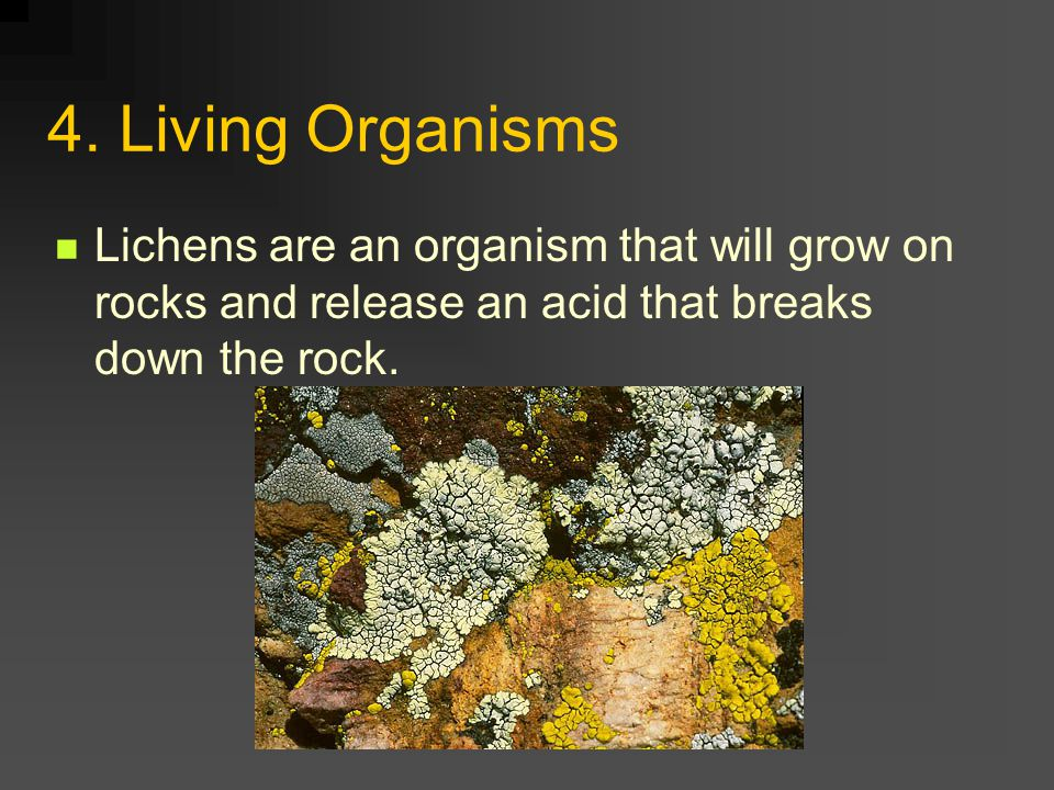 4. Living Organisms Lichens are an organism that will grow on rocks and release an acid that breaks down the rock.