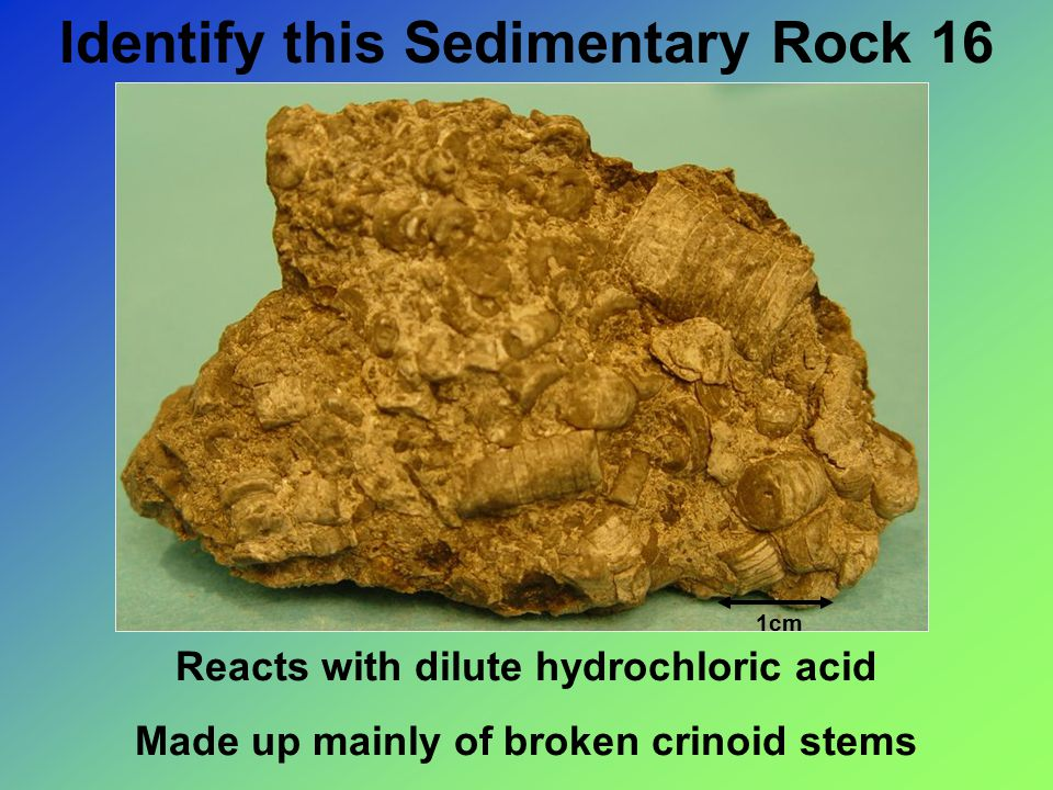 Identify this Sedimentary Rock 16 Reacts with dilute hydrochloric acid Made up mainly of broken crinoid stems 1cm