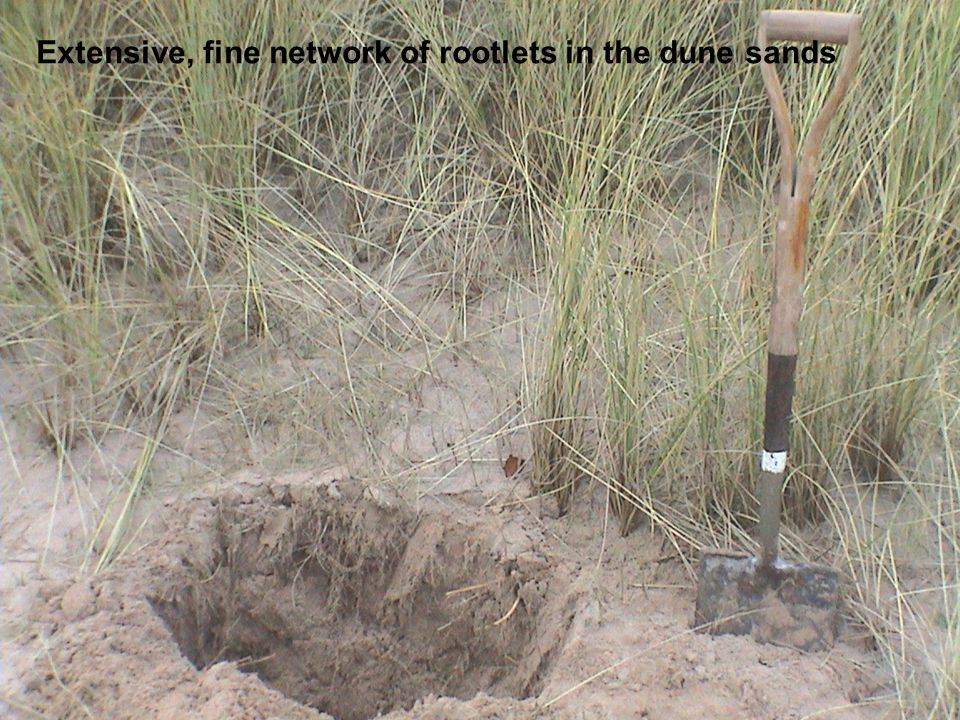 Extensive, fine network of rootlets in the dune sands
