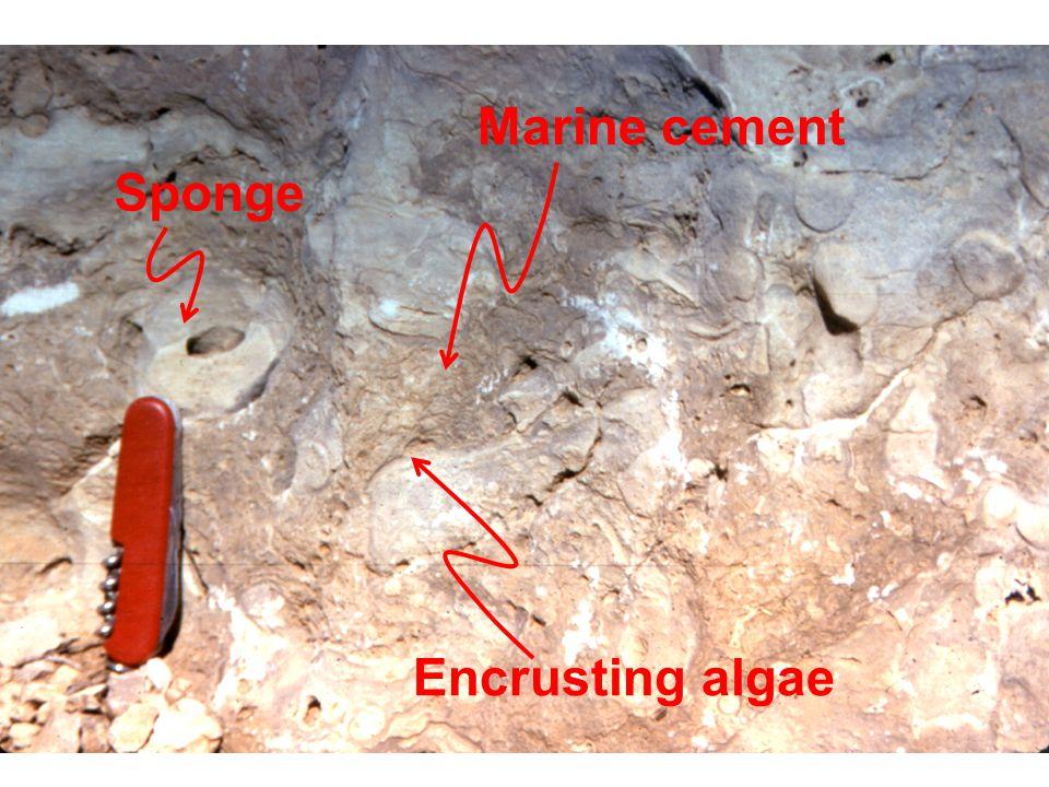 Sponge Encrusting algae Marine cement